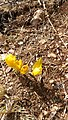Sternbergia Mount Meron 03.jpg