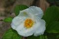 Stewartia pseudocamellia 01.JPG