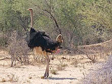 The pink penis of the ostrich is extended under the black plumage.