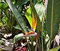 Strelitzia reginae 113209.jpg