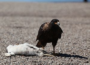 Striated caracara - Image: Striated Caracara with a dead Gentoo Penguin chick (5557011581)