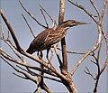 Striated Heron, juvenile, Gambia (32822723246).jpg
