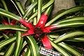 Striped Blushing Bromeliad (Neoregelia carolinae var. tricolor) (3069762358).jpg