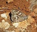 Striped Grayling. Pseudotergumia fidia (39406642654).jpg
