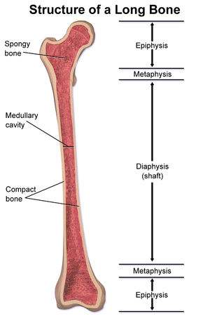 Metaphysis - Structure of a long bone showing the metaphysis.