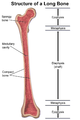 Structure of a Long Bone.png