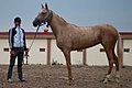 Studfarm in Turkmenistan - Flickr - Kerri-Jo (122).jpg