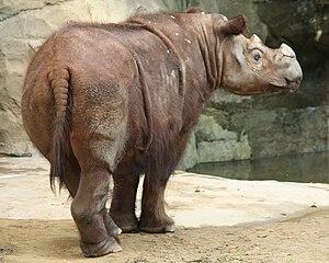 Sumatran rhinoceros - Sumatran rhinoceros at the Cincinnati Zoo in Cincinnati, Ohio