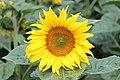 Sunflower (14464576527).jpg