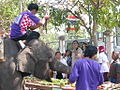 Surin elephants 25.jpg