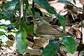 Swainson's Warbler Hooks Wood High Island TX 2018-04-11 09-31-56 (40910284235).jpg