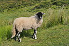 Swaledale Sheep Surrender Bridge.jpg