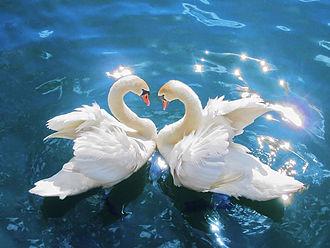 Moksha - Image: Swans Cygnus olor edit 2
