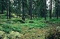 Swedish Spruce Forest.jpg