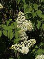 Syringa vulgaris, ´Mme Florent Stepmann`.jpg