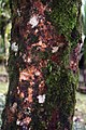 Syzygium malaccense 12zz.jpg
