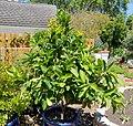 Syzygium samarangense - Marie Selby Botanical Gardens - Sarasota, Florida - DSC01666.jpg