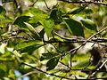 Ta Khop Pa (Thai- ตะขบป่า) (3187877222).jpg