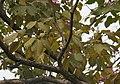 Tabebuia impetiginosa (Pink Trumpet tree) in Hyderabad, AP W IMG 2609.jpg