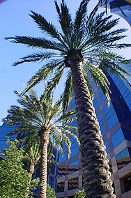 Tall date palms in irvine.JPG