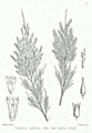 Tamarix gallica Bra5.png