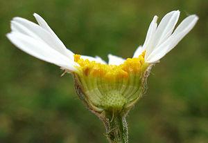 Tanacetum - Tanacetum corymbosum
