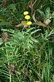 Tanacetum vulgare (8016803218).jpg