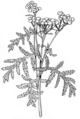 Tansy (PSF).png