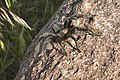 Tarantula spider, Wichita Mountains Wildlife Refuge, SW Oklahoma, U.S.jpg