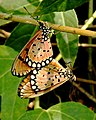 Tawny Coster Acraea terpsicore mating by Dr. Raju Kasambe DSCN0423 (1).jpg