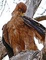 Tawny Eagle (Aquila rapax) (32938327840).jpg