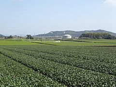 Tea Plantation in Nogami Shibushi 2013.JPG