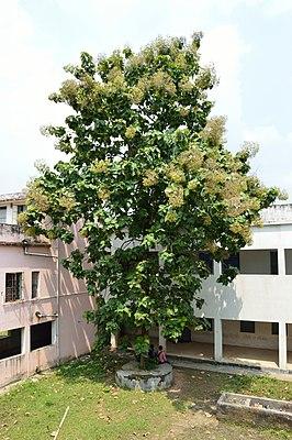 Tectona Grandis com frutas - Hijli College - West Midnapore 28-09-2015 4158.JPG