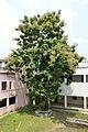 Tectona Grandis with Fruits - Hijli College - West Midnapore 2015-09-28 4158.JPG