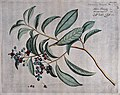 Tetracera laevis Vahl; branch with flowers and fruit, separa Wellcome V0042623.jpg