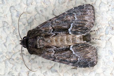 Thalpophila matura, Lodz(Poland)02(js).jpg