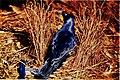 The Australian zoologist (1954) (20164208399).jpg