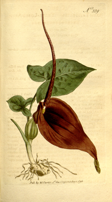 The Botanical Magazine, Plate 339 (Volume 10, 1796).png