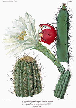 The Cactaceae Vol II, plate XXIV filtered.jpg
