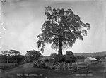 The Fig Tree, Charcoal (2376042797).jpg