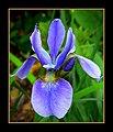 The Iris (25) (8096403031).jpg