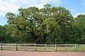 The Major Oak - geograph.org.uk - 1328654.jpg