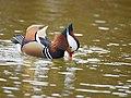 The Mandarin Duck of St. Ferdinand Park (31896234818).jpg