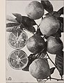 The acid lime fruit in Hawaii (1923) (16150553543).jpg