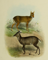 The deer of all lands (1898) Michie's tufted deer & Chinese water deer.png