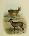 The deer of all lands (1898) Michie's tufted deer & Chinese water deer.png