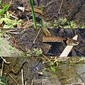The grass snake from the preceeding image was hunting after his lost game with neww energy along the shore of the Warnsborn pond - panoramio.jpg