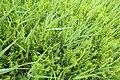 Thelypteris palustris kz02.jpg