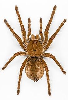 Goliath birdeater species of arachnid