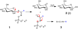 Glucosinolate - A mustard oil glycoside 1 is converted to an isothiocyanate 3 (mustard oil). Glucose 2 is liberated as well, only the β-form is shown.–                   R = allyl, benzyl, 2-phenylethyl etc.